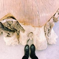 tronco d'albero secolare all'orto botanico di Padova con sezione e conteggio degli anni