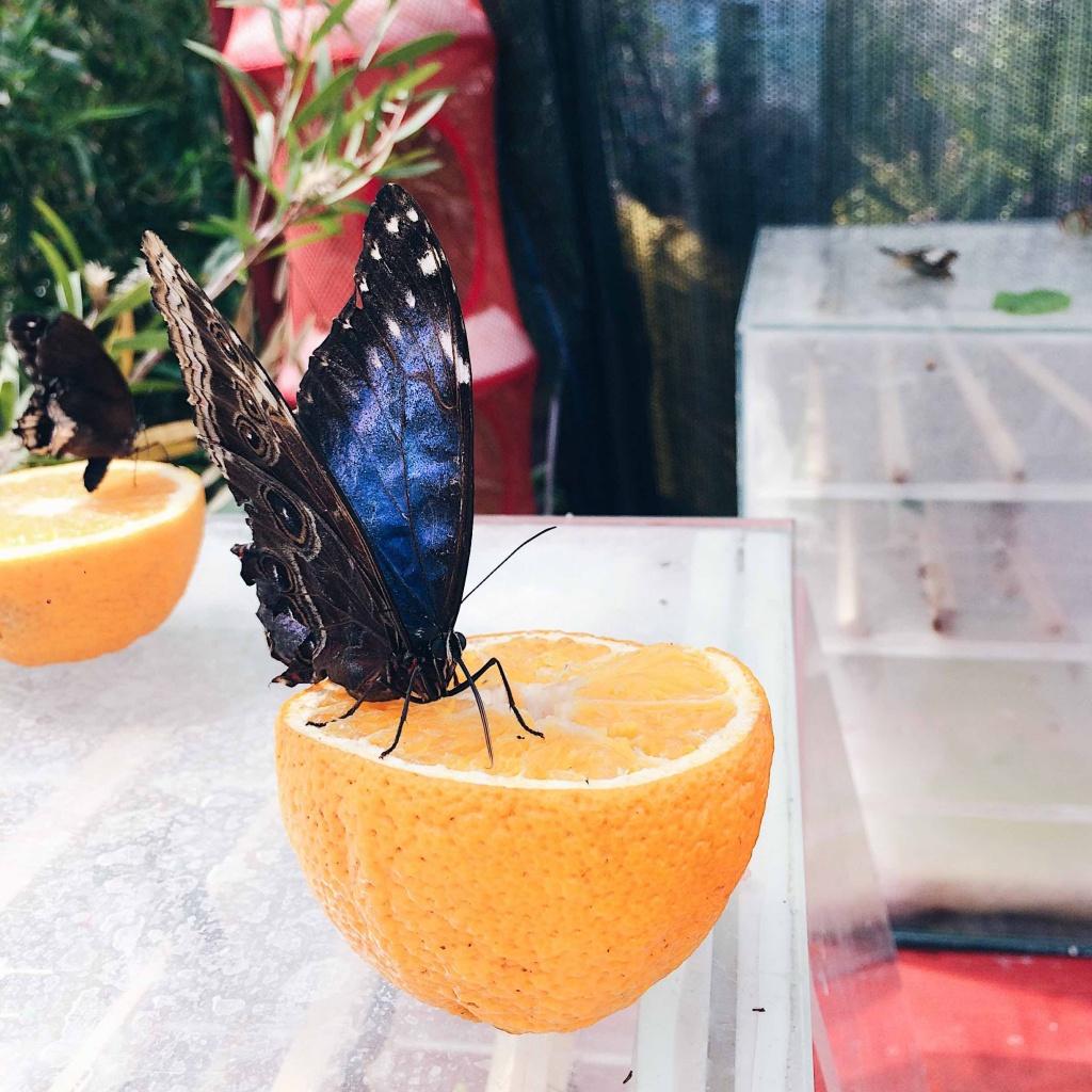 farfalla che mangia una arancio