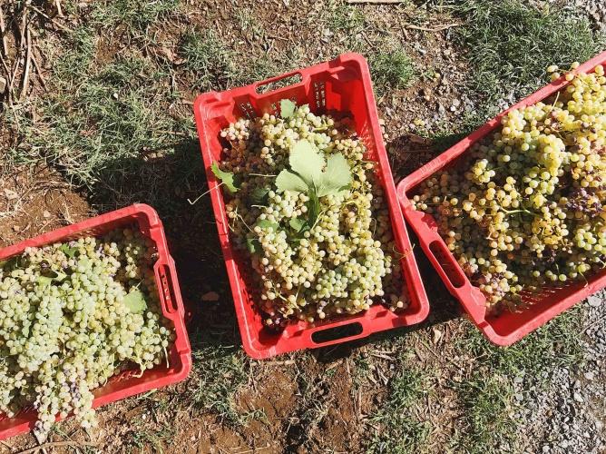 Merumalia Wine Resort raccolta dell'uva