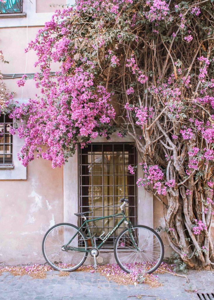pianta bouganville in fiore
