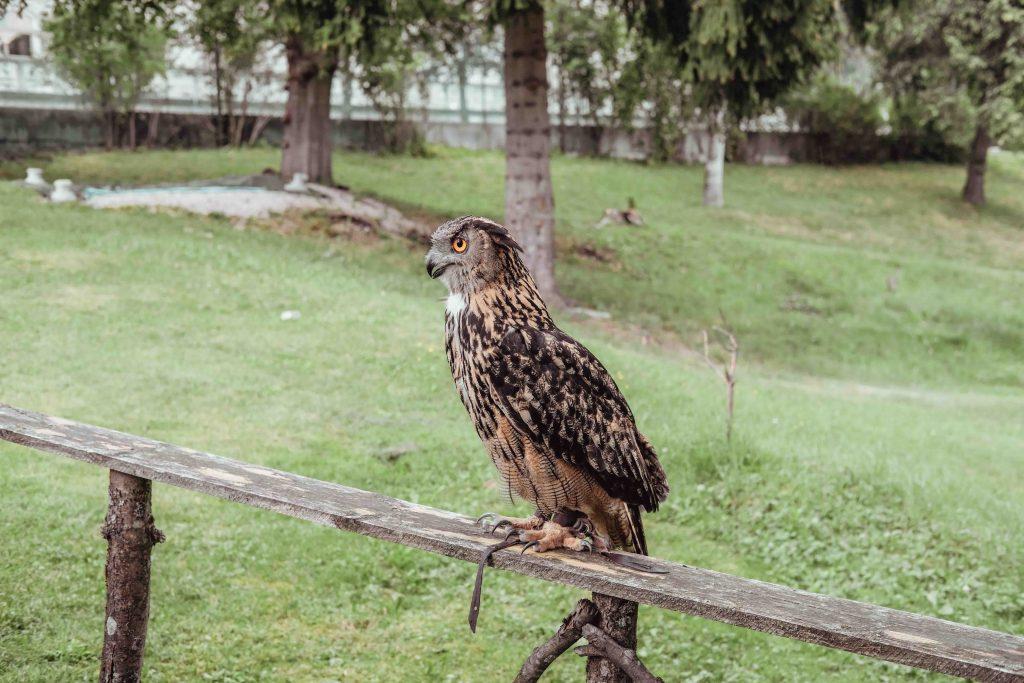 gufi reale spettacolo falconeria