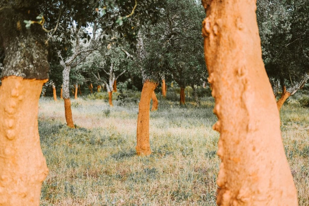 piantagione di alberi da sughero