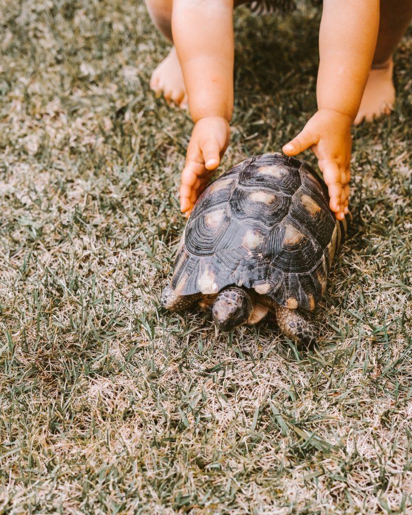 manine di una bambini toccano una tartaruga che cammina sul prato